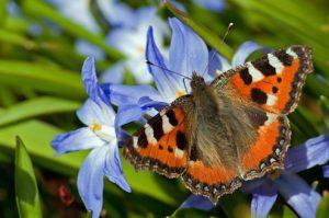 orange butterfly on blue flowers