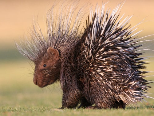 porcupine on a field