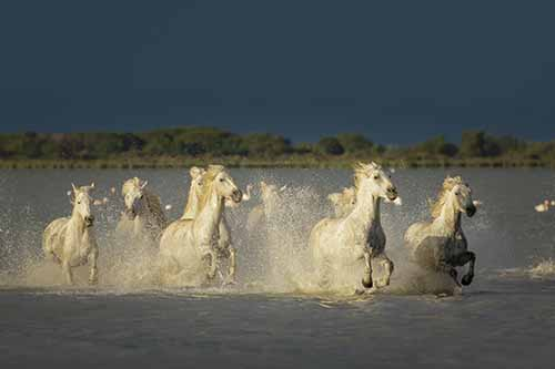 white horses racing in the water